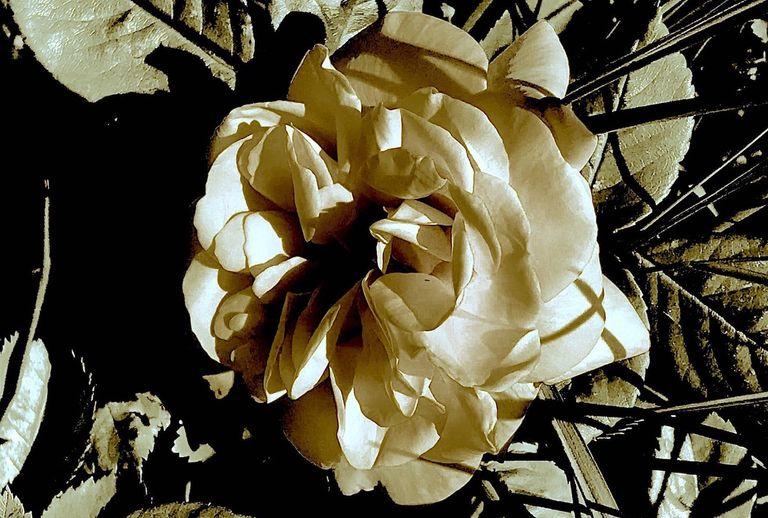Black-Roses.jpeg